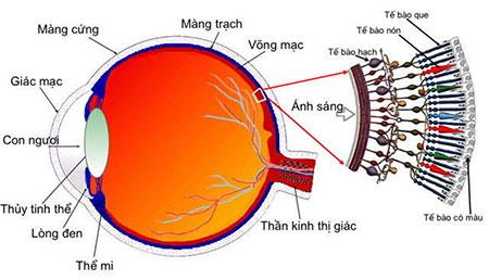 cấu tạo mắt con người